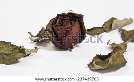 Single dried rose flower with dried leafs Isolate on white