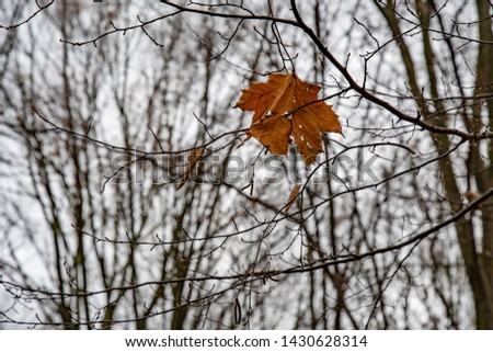 Single dry maple leaf entangled among bare tree branches. Fall leaf and twig textures. Autumn backdrop. Orange color leaf of maple tree on grey sky background. Loneliness concept. Cold winter weather. #1430628314