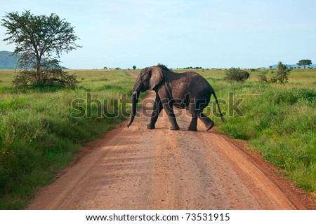 Single elephant walking on a road