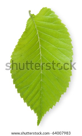Single Elm leaf
