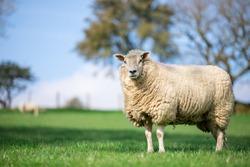 single ewe sheep in the grass