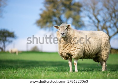 Photo of  single ewe sheep in the grass