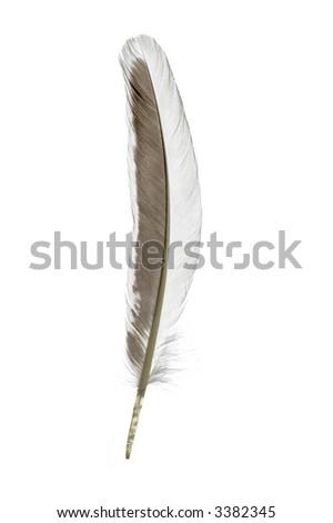 single feather on white #3382345