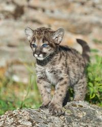 Single female mountain lion cub