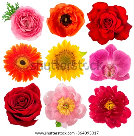 Single flower heads. Rose, orchid, peony, sunflower, gerber, anemone isolated on white background.