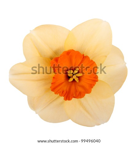 Single flower of the orange and red, small-cup daffodil cultivar Copper Coin against a white background square