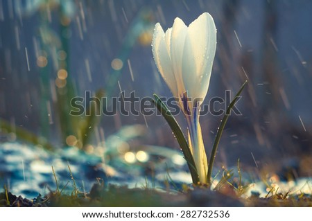 Single flower of white crocus in the spring rain