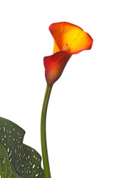 Single flower, stem and partial green-and-white leaf of an orange and yellow calla lily (Zantedeschia) isolated against a white background
