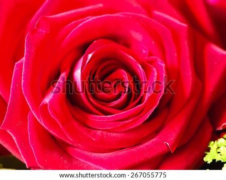 single flowers beautiful love backgrounds nature