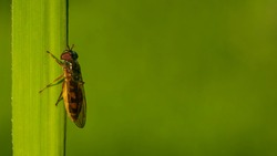 Single fly with large belly sitting on the grass. Large vertical copy space with green background.