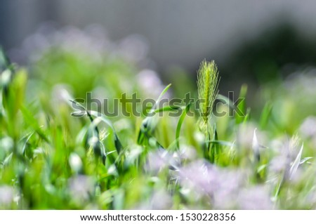 Single Focus on Single Piece of Grass Turning to Seed in a Lovey Blurry Field