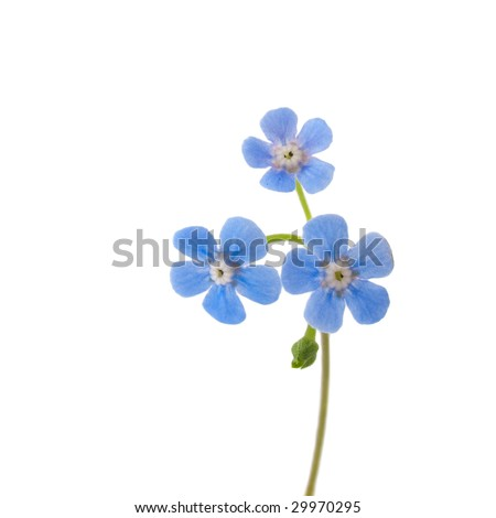 Single forget-me-not flower isolated on white