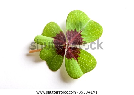 Single four-leaf clover on a white background - stock photo