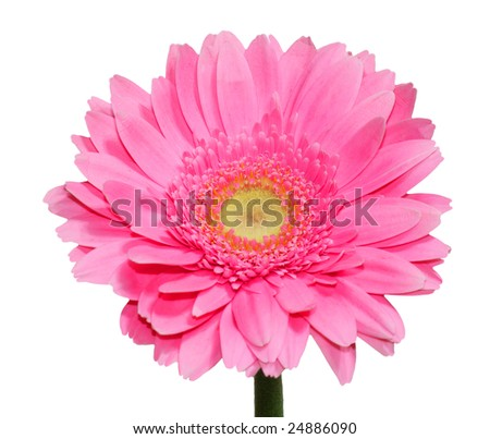 Single fresh pink gerbera flower isolated on white ez canvas single fresh pink gerbera flower isolated on white mightylinksfo