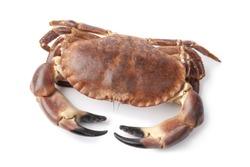 Single fresh raw edible sea crab isolated on white background