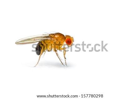 Single fruit fly (drosophila melanogaster) on white background