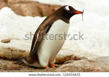 Single Gentoo penguin, Cuverville Island, west coast of Antarctic Peninsula