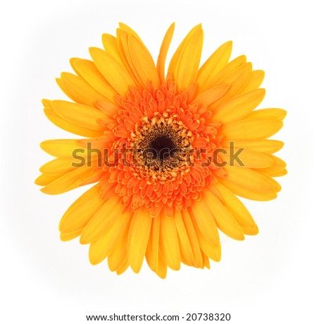 single gerber daisy on a white background