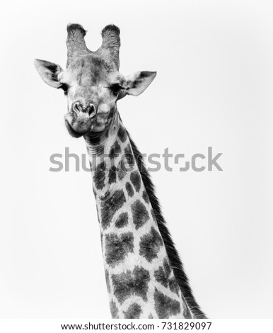 Single Giraffe looking directly at camera while chewing.  High contrast black and white