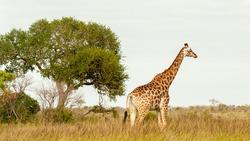 Single giraffe looking into the distance