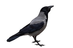 single gray crow close-up, isolated on a white background