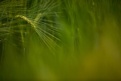 Single green barley plant against dark background. Barley grain is used for flour, barley bread, barley beer, some whiskeys, some vodkas, and animal fodder. Selective focus, space for text