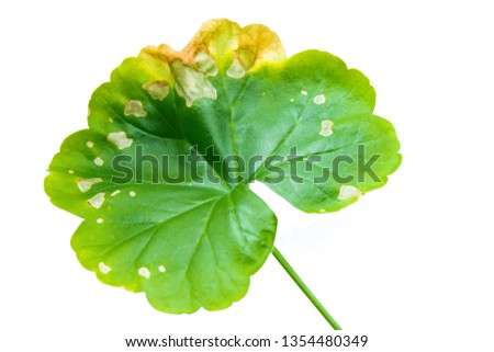 Single green leaf of Pellargonium, Geranium isolated on white background