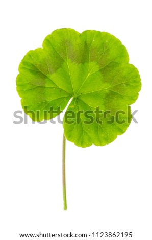 Single green leaf of Pellargonium isolated on white background. Studio Photo