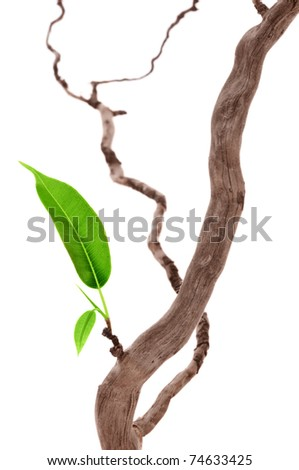 Single green leaf on dry branch