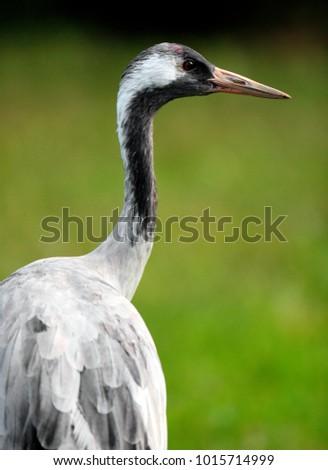 Single Grey Crane bird on grassy wetlands during a spring nesting period Zdjęcia stock ©