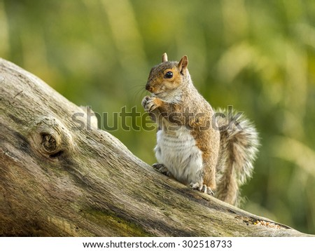 Single Grey Squirrel (Sciurus carolinensis) foraging in a natural woodland countryside setting. Depicted posturing on an old dilapidated wooden tree stump, bathed in early evening sunlight. #302518733