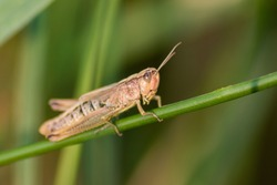 Single isolated grasshopper hopping through the grass in search of food, grass, leafs and plants as plague with copy space and a blurred background