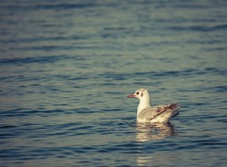 Single isolated seagull bird swimming on the water. Cinematic look of a solitary seagull.