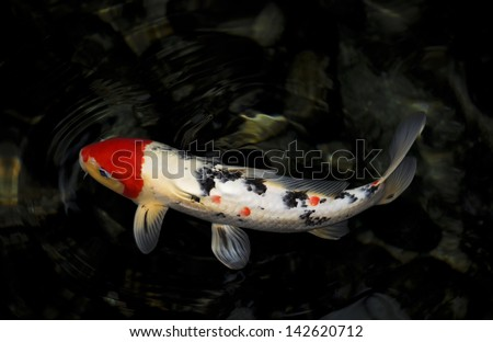Single koi fish in red white black and yellow against a for Red and white koi fish
