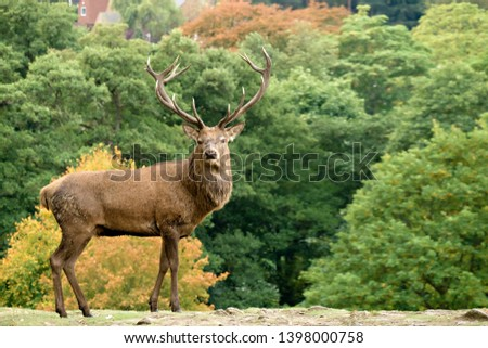 Single large adult male Red Deer Stag (Cervus elaphus) with antlers in Charnwood Forest, Leicestershire, England, UK #1398000758