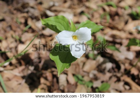Single large-flowered trillium bloom with brown leaves on the ground at Harms Woods in Skokie, Illinois Zdjęcia stock ©