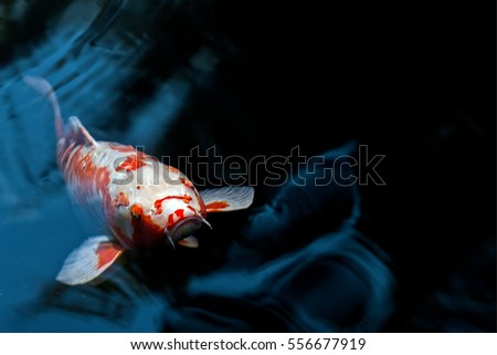 Single Large Orange and White Koi Swims on Rippling black and blue Pond, head and mouth detail #556677919