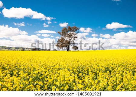 Single Large Tree in Focus within Canola Field in Bloom, with Deep Blue Sky in Spring Time, Australia