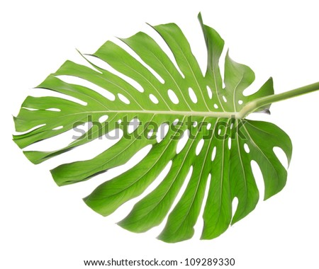 Single leaf back isolated on white