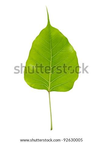 Single leaf isolated (Leaf of Bodhi tree, Buddhism spiritual symbol) - stock photo