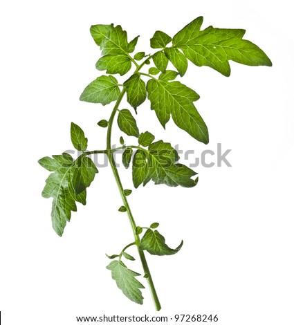 Single leaf tomato isolated on white background