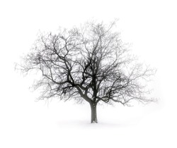 Single leafless tree in winter fog on white snow background