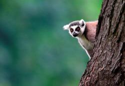 Single Lemur Katta - Ring-tailed Lemur in zoological garden