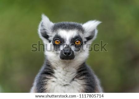 Single Lemur staring directly at camera