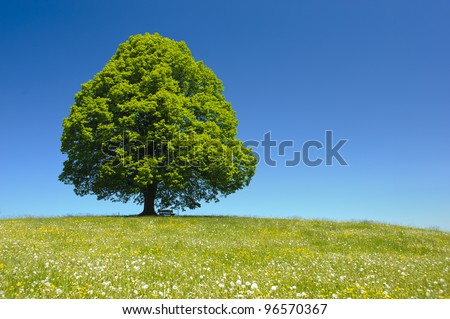 single linden tree at spring