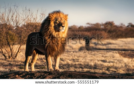 Single lion looking regal standing proudly on a small hill #555551179