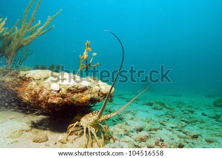 Single lobster in natural habitat in tropical ocean waters