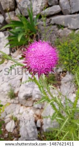 Single Lone Flower Mount Srd Croatia