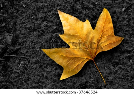 Single lonely golden leaf fallen in the black asphalt.