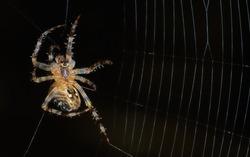 Single mail garden spider (Araneus diadematus) in process of building his web. Arachnid preparing to hunt his prey. Black background. Vertical crop.